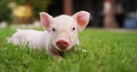 Psotna świnka