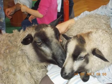 Spotkanie z owieczkami